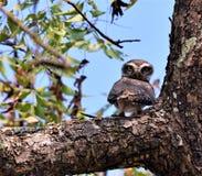 印地安褐色察觉了猫头鹰接近  图库摄影