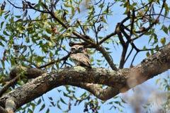印地安褐色被察觉的猫头鹰 免版税图库摄影