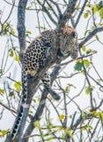 印地安豹子在Bandipur森林里 免版税库存照片