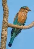 印地安路辗鸟 免版税库存图片