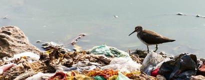 印地安长嘴鸟的长嘴半蹼鹬 库存照片