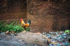 印地安雄鸡和一堆破烂物 免版税库存照片