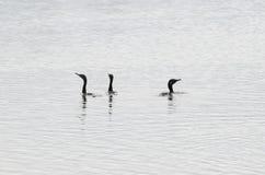 印地安鸬鹚鸬鹚fuscicollis成人,繁殖的全身羽毛,游泳 免版税库存照片