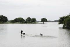 印地安鸬鹚鸬鹚fuscicollis成人,繁殖的全身羽毛,游泳 图库摄影