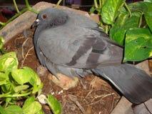 印地安鸽子 免版税库存图片