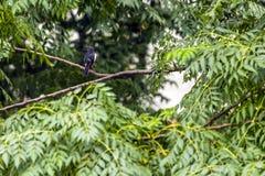 印地安鹊罗宾 免版税库存照片