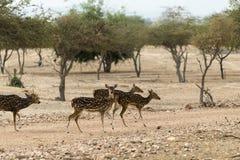 印地安鹿 免版税库存照片