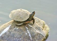 印地安黑乌龟 图库摄影