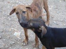印地安离群小狗 免版税库存图片
