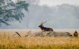 印地安水鹿鹿 库存照片