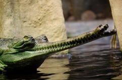 印地安gavial, Gavialis gangeticus 库存照片