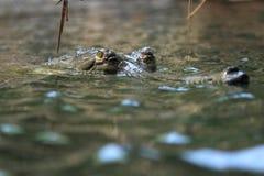 印地安gavial 免版税库存图片