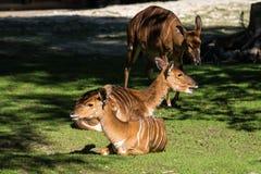 印度人Blackbuck,羚羊cervicapra或印度羚羊 库存照片