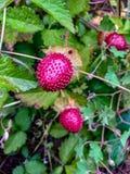 印度假装草莓, 免版税库存图片
