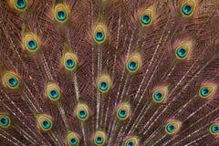 印度孔雀孔雀座cristatus的全身羽毛 免版税库存图片