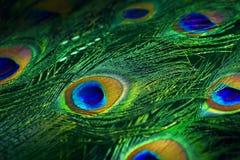 印度孔雀异乎寻常的全身羽毛  库存图片