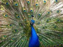 印度孔雀或蓝色孔雀与开放尾巴的孔雀座cristatus在公园动物园的围场 库存图片
