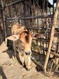 印度家养的小牛在村庄 免版税库存图片