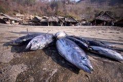 印度尼西亚东方狐鲣 (Lamalera) 免版税图库摄影