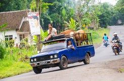 印度尼西亚人民带来他们的与卡车的母牛 免版税库存照片