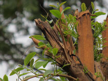 印度尼西亚人Bayleaf树 免版税库存图片