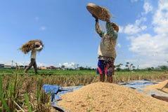 印度尼西亚农夫在米领域,2019年4月15日,普罗比什蒂普市,东爪哇,印度尼西亚的Harversting米 免版税图库摄影