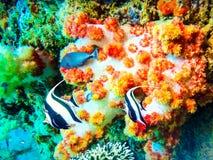 印度尼西亚巴厘岛水下的Zanclus cornutus 图库摄影