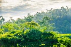 印度尼西亚的森林 库存图片