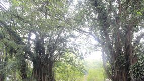 印度尼西亚的美丽的绿色森林 图库摄影