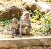 印度尼西亚短尾猿 森林居民 神圣的森林巴厘岛胡闹 猕猴属fascicularis 图库摄影