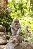 印度尼西亚短尾猿 森林居民 神圣的森林巴厘岛胡闹 猕猴属fascicularis 库存图片
