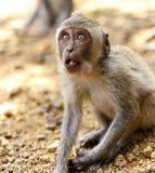 印度尼西亚短尾猿 森林居民 神圣的森林巴厘岛胡闹 猕猴属fascicularis 库存照片