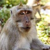 印度尼西亚短尾猿 森林居民 神圣的森林巴厘岛胡闹 猕猴属fascicularis 免版税库存照片