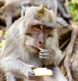 印度尼西亚短尾猿 森林居民 神圣的森林巴厘岛胡闹 猕猴属fascicularis 免版税库存图片