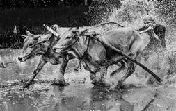 印度尼西亚紧固他们的骑师bitting的公牛尾巴在泥泞的领域, Pacu Jawi公牛种族节日 库存图片