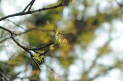 16-04-2018印度尼西亚, swietenia macrophlla和天空树叶子  免版税库存照片