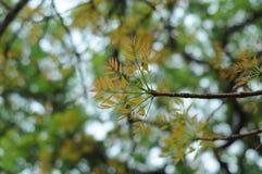 16-04-2018印度尼西亚, swietenia macrophlla和天空树叶子  库存图片