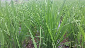 印度尼西亚稻田 库存照片