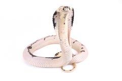 印度支那的分散眼镜蛇,眼镜蛇siamensis 库存照片