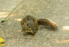 印度支那的地松鼠(Menetes berdmorei) 免版税图库摄影