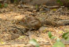印度支那的地松鼠(Menetes berdmorei) 库存照片