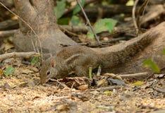 印度支那的地松鼠(Menetes berdmorei) 免版税库存图片