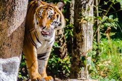 印度支那的老虎或者Corbett ` s老虎, 图库摄影