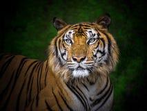 印度支那的老虎的面孔 库存照片