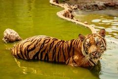 印度支那的老虎,泰国 免版税图库摄影