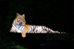印度支那的老虎 免版税库存图片