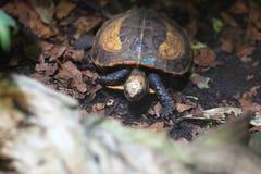 印度支那的龟盒 库存图片