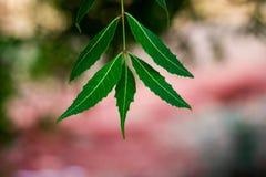 印度楝树或Azadirachta印度叶子有blured背景 免版税库存照片