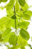 印度榕树叶子 免版税库存图片