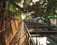 印度榕树和老墙壁在水发行运河旁边 免版税库存图片